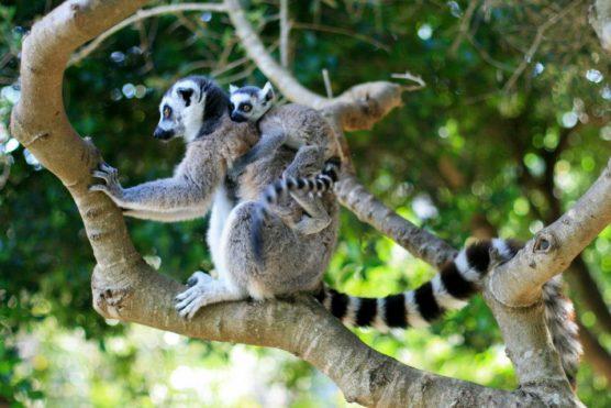 zoo-lloc-minorque-lémuriens